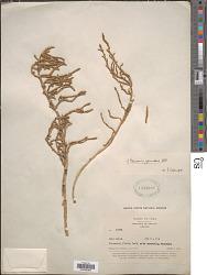 Salicornia fruticosa (L.) L.