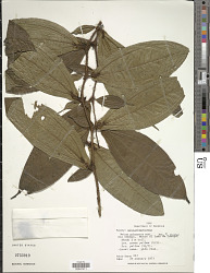 Maieta guianensis var. guianensis