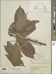 Camoensia scandens (Welw.) J.B. Gillett