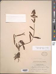 Angelonia pilosella J. Kickx f.