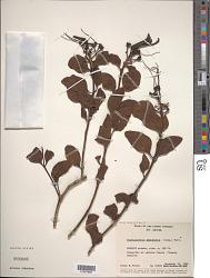 Psitticanthus americanus Mart.