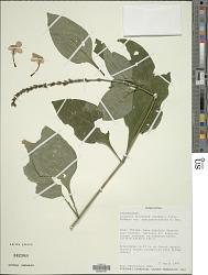 Ruspolia decurrens (Hochst. ex Nees) Milne-Redh.