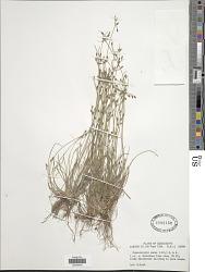 Fimbristylis annua (All.) Roem. & Schult.