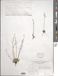 Saxifraga foliolosa Aiton