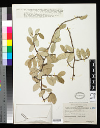 Ficus punctata Thunb.