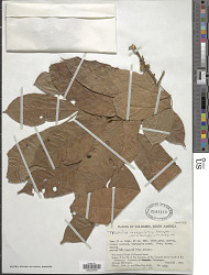 Trichilia inaequilatera T.D. Penn.