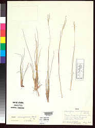 Axonopus camargoanus G.A. Black