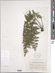 Asplenium cristatum Lam.