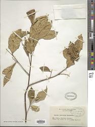 Styrax rostratus Hosok.