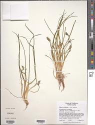 Lilaea scilloides (Poir.) Haum
