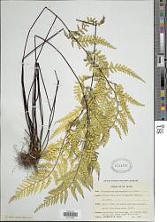 Pityrogramma chrysophylla (Sw.) Link