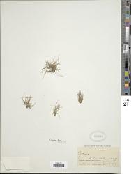 Eleocharis parvula var. anachaeta (Torr.) Svenson