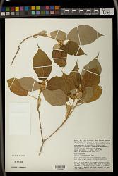 Croton polytrichus Pax
