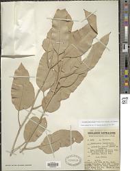 Corymbia foelscheana (F. Muell.) K.D. Hill & L.A.S. Johnson