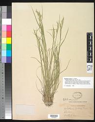 Danthonia spicata (L.) P. Beauv. ex Roem. & Schult.