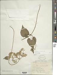 Mikania micrantha Kunth