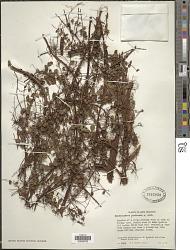 Metrosideros perforata (J.R. Forst. & G. Forst.) Druce