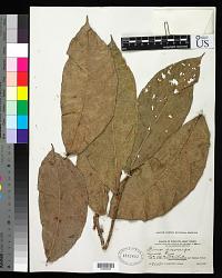 Ficus pisocarpa Blume