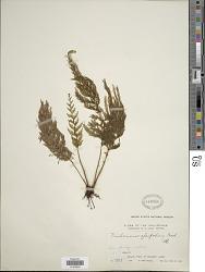 Callistopteris apiifolia (C. Presl) Copel.