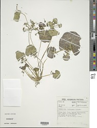 Nymphoides rautanenii (N.E. Br.) A. Raynal