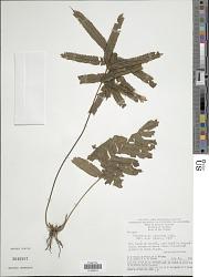 Trichomanes pinnatum Hedw.