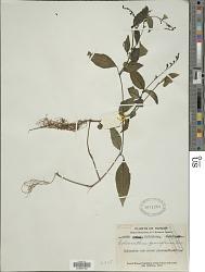 Codonacanthus pauciflorus (Nees) Nees