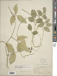 Canavalia brasiliensis Mart. ex Benth.
