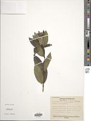 Perymenium nicaraguense S.F. Blake