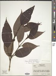 Clidemia costaricensis Cogn. & Gleason in Gleason