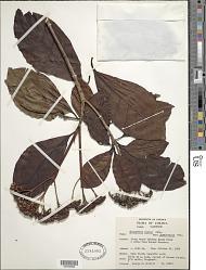 Chimarrhis jamaicensis Urb. subsp. jamaicensis