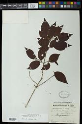 Campomanesia guaviroba Kiaersk.