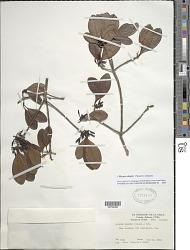 Mazaea shaferi (Standl.) Delprete