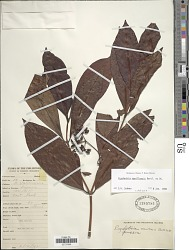 Psychotria manillensis Bartl. ex DC.