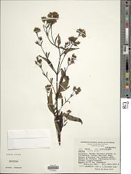 Stevia ovata Willd.