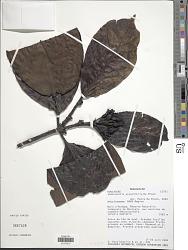 Robbrechtia grandifolia De Block