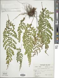 Adiantum concinnum Humb. & Bonpl. ex Willd.