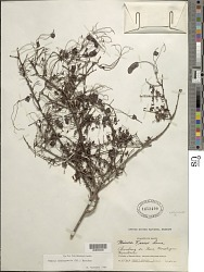 Mimosa domingensis (DC.) Benth.
