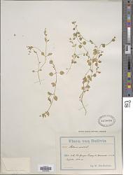 Stellaria media (L.) Villars
