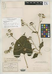 Encelia adenophora Greenm.