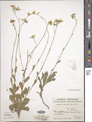 Biscutella vincentina (Samp.) Rothm. & Guinea