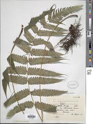 Steiropteris glandulosa (Hook. f.) Pic. Serm.