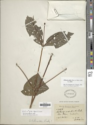 Alibertia edulis (Rich.) A. Rich. ex DC.