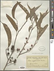 Eucalyptus agglomerata Maiden