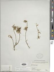 Pueraria tuberosa (Roxb. ex Willd.) DC.