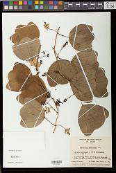 Passiflora andersonii DC.