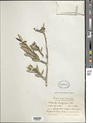 Isidorea brachycarpa (Urb.) Aiello