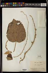 Croton mongue Baill.