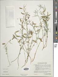 Lathyrus saxatilis (Vent.) Vis.