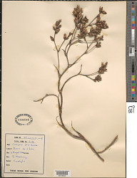 Catopsis floribunda L.B. Sm.