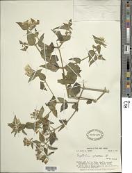 Chromolaena odorata (L.) R.M. King & H. Rob.